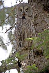 Great grey owl (Bartkauz, male)