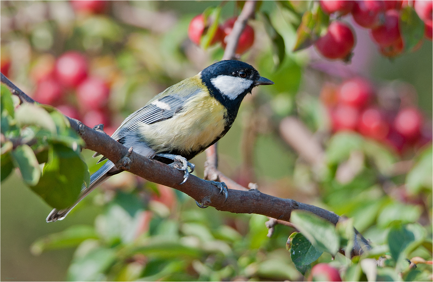 Great tit in our garden