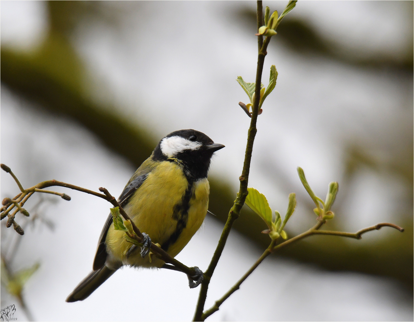 Great tit in the woods ..