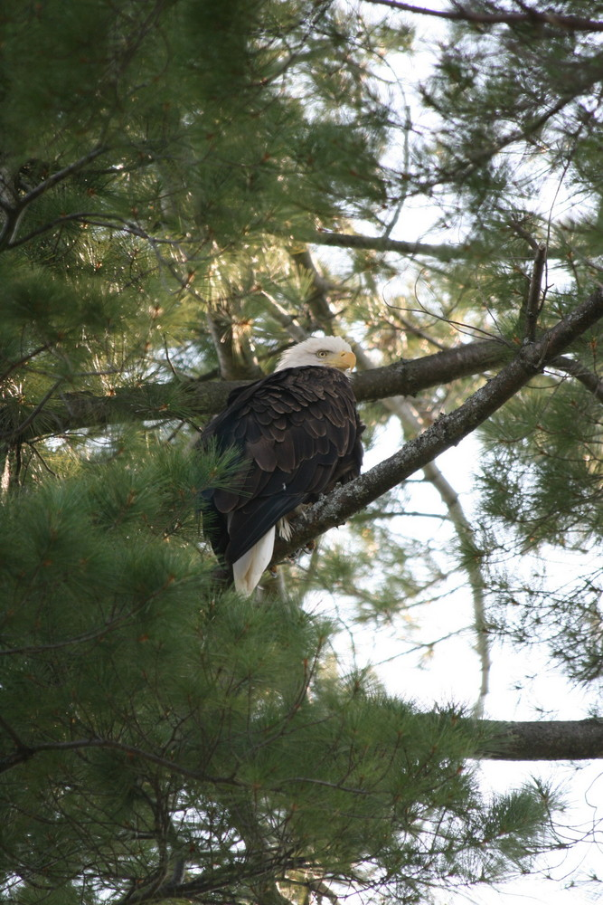 Great White North Wisconsin Eagle
