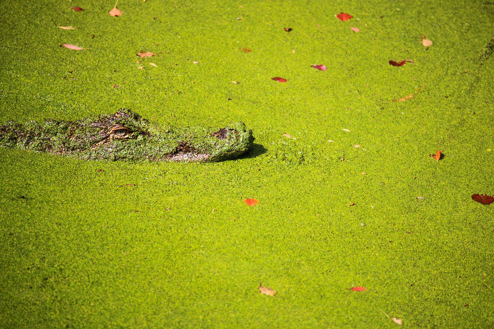 Green, Alligator, Green