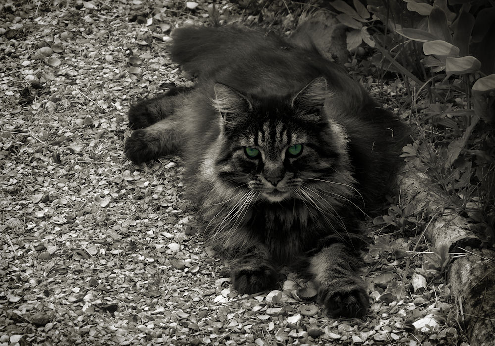 Green-eyed cat on the garden path