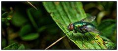 Green Flies ...