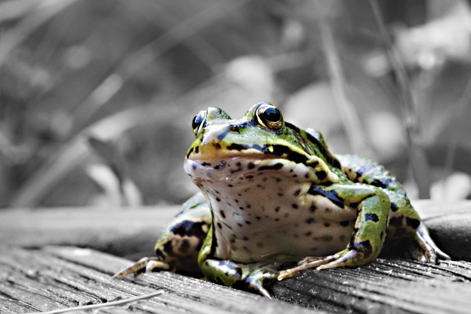 Green Frog - Teichfrosch