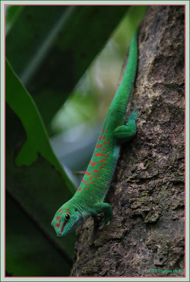 Green Gecko Masoala Halle Zoo Zurich Foto Bild Natur Zoo Tiere Bilder Auf Fotocommunity