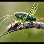 Green graashopper