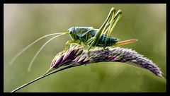 Green graashopper