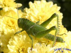 Green grasshopper in yellow flower