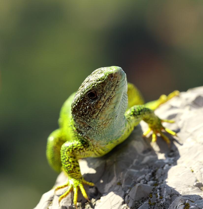 Green Lizard watching me...