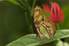 Green Longwing