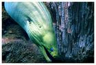 Green Moray Eel  (Gymnothorax Funebris)