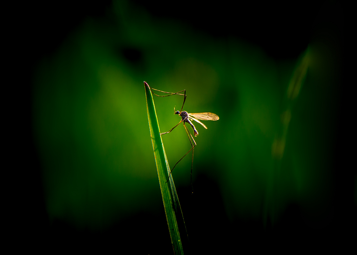 Green Mosquito