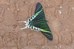Green Page Moth,