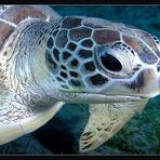 Green turtle....