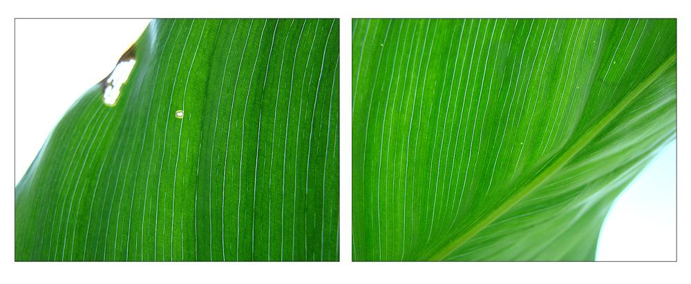 .green.leaves.leise.