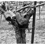 greetings from good old vineyard