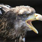 Greifvögel in Hellenthal 1