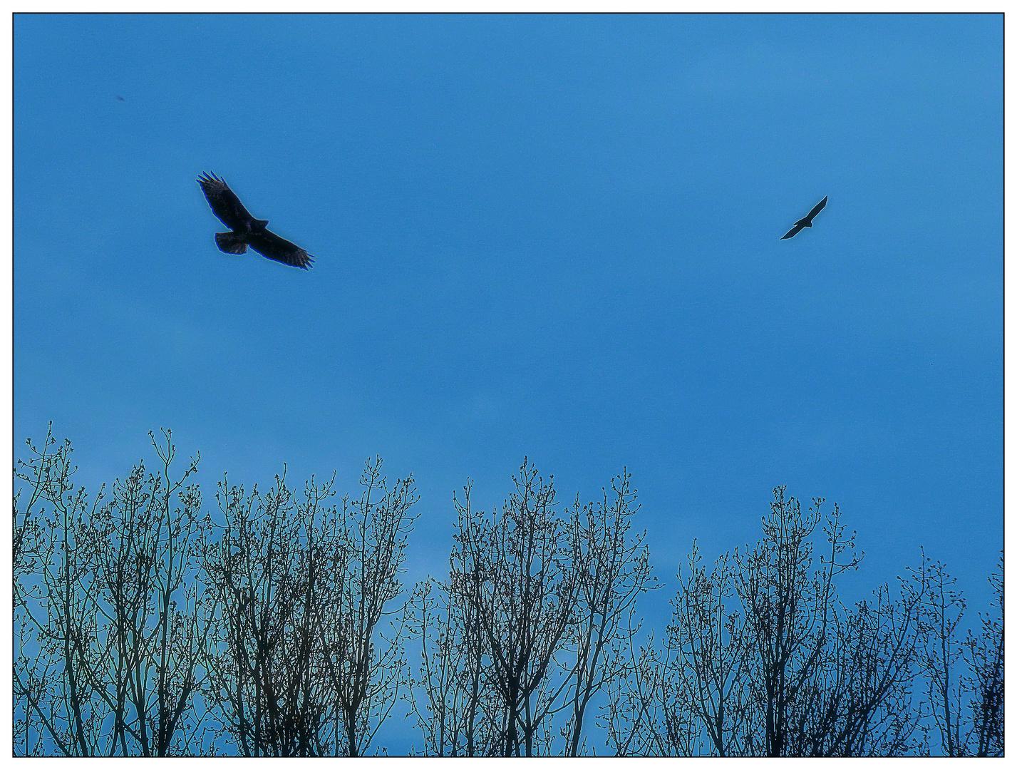 Greifvögel ziehen ihre Kreise