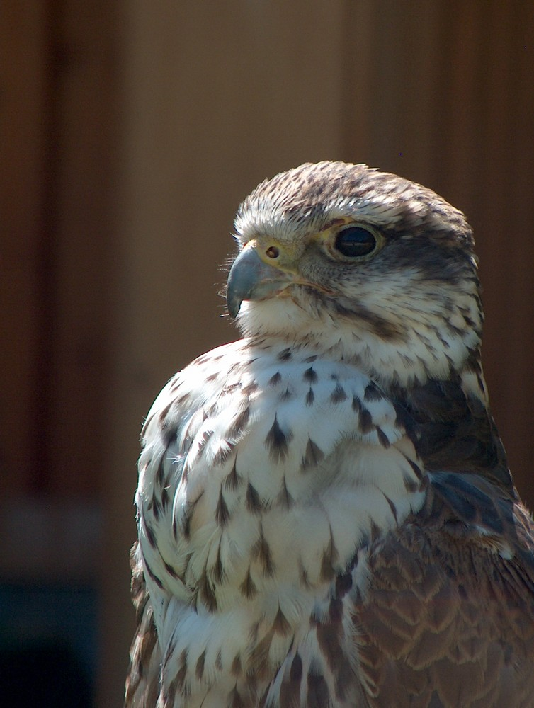 Greifvogel 2