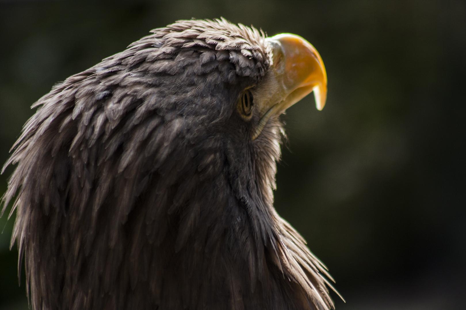 Greifvogel II