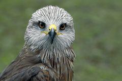 Greifvogel III