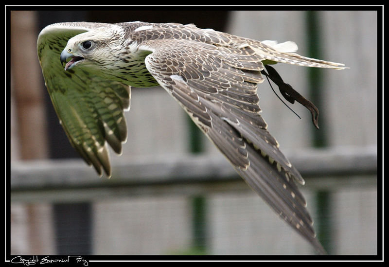 Greifvogel im Flug
