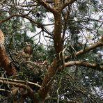 Greifvogel im Nest