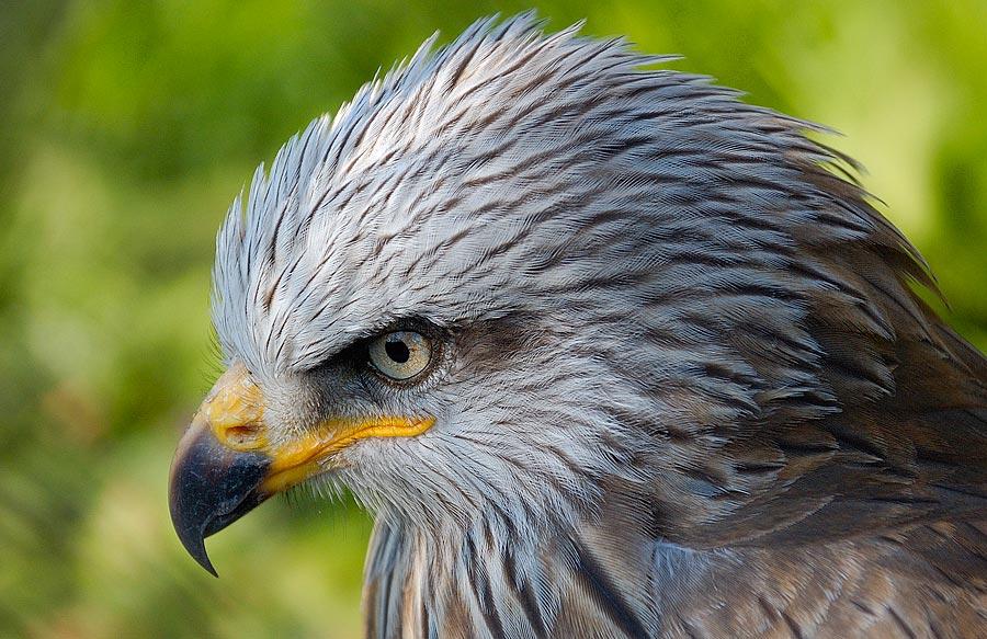 Gewicht Adler