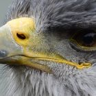 Greifvogel Portrait