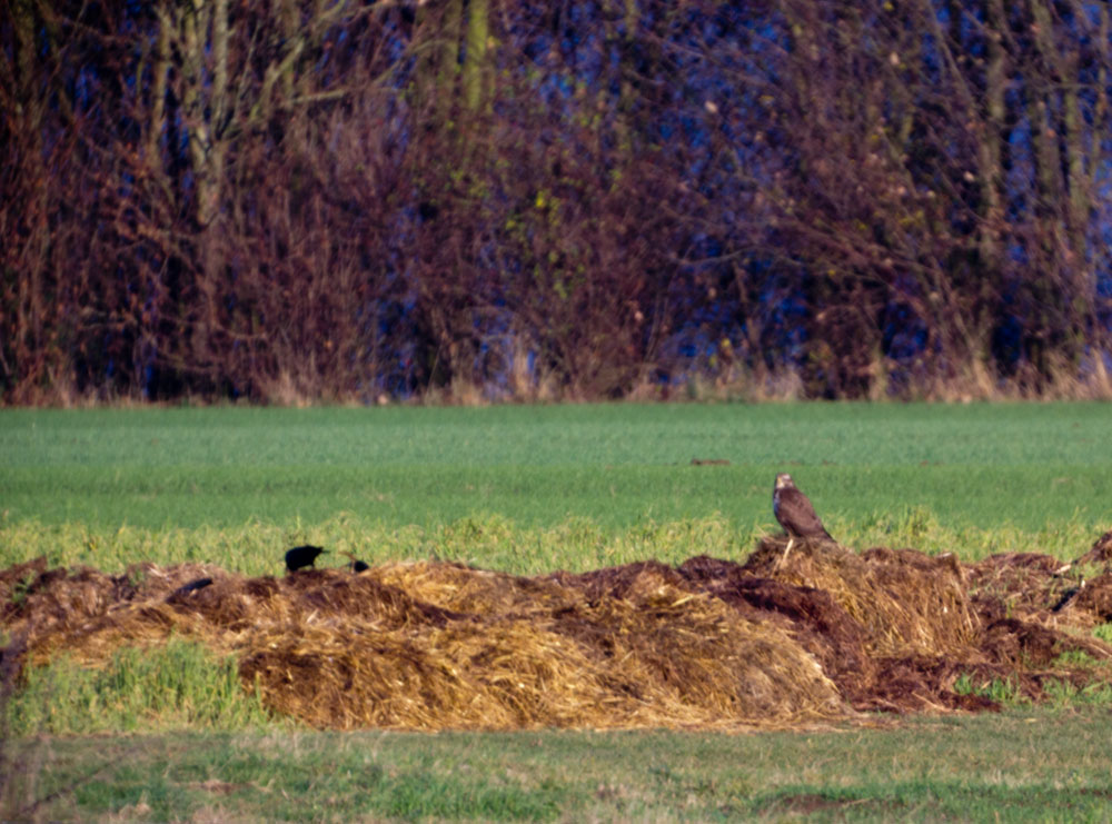 Greifvogel vs. Raabe
