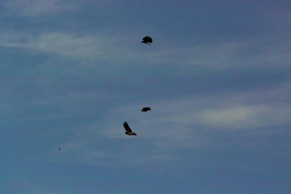 Greifvogel vs Rabenkrähe