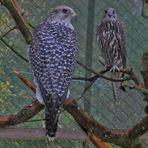Greifvogelpark Wunsiedel: Sakerfalken