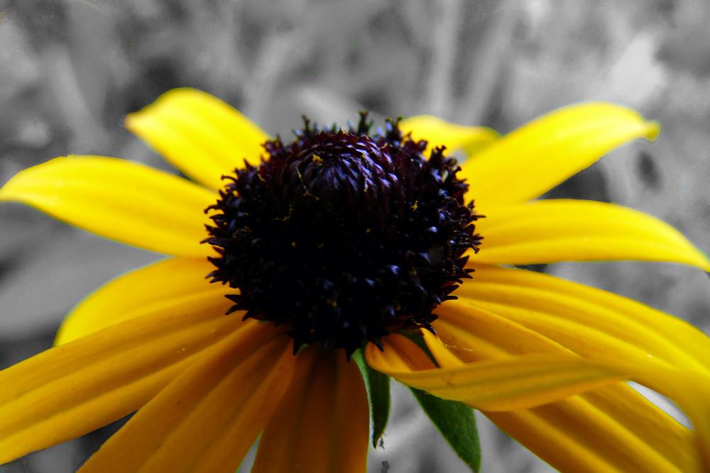 Greiskraut im Strahlenden Gelb