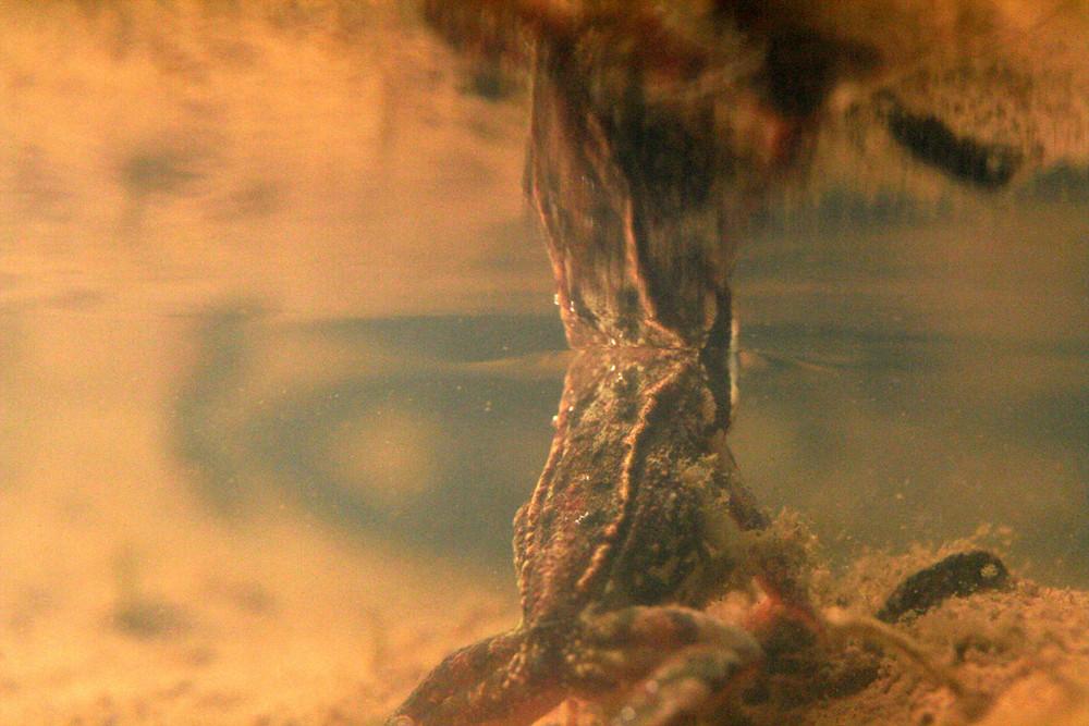 grenouille sous l'eau