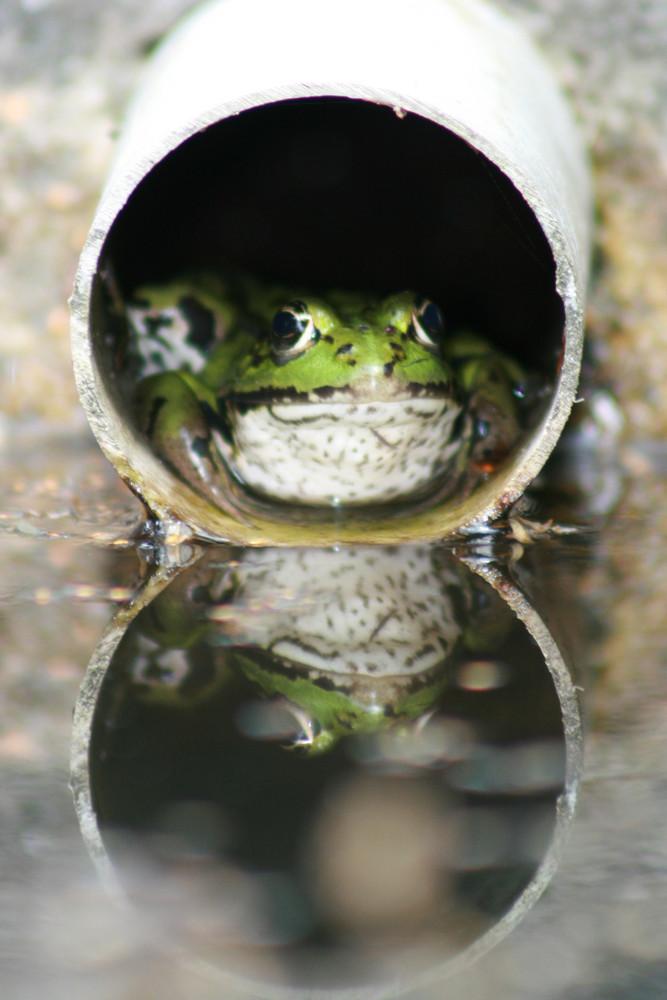 Grenouille verte dans un tuyau