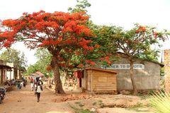 Grenzort Malawi mit Flammenbaum (Delonix regia)