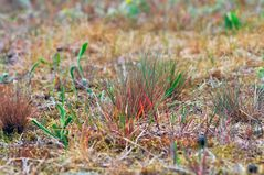 grey hair-grass