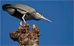 Grey Heron preparing for fish attack