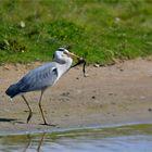 Grey heron with prey ..