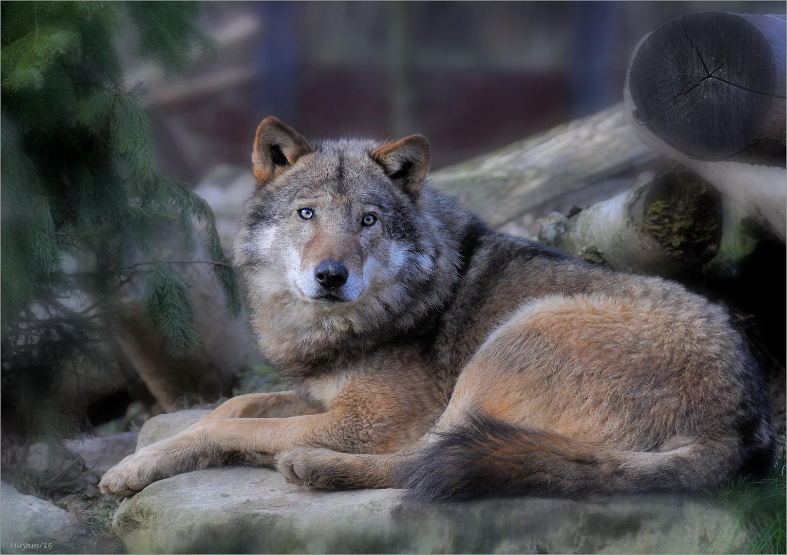 Grey wolf ..
