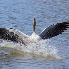 greylag goose on the attack