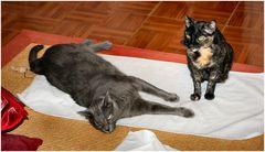 Grigia e Luna, due gattine  italiane.