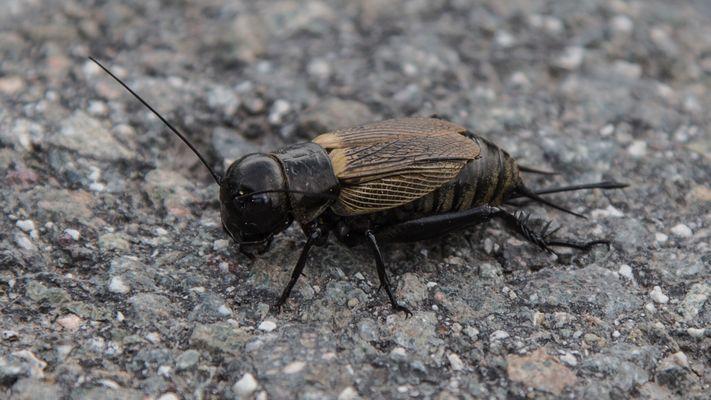 insekten grillen fotos bilder auf fotocommunity. Black Bedroom Furniture Sets. Home Design Ideas
