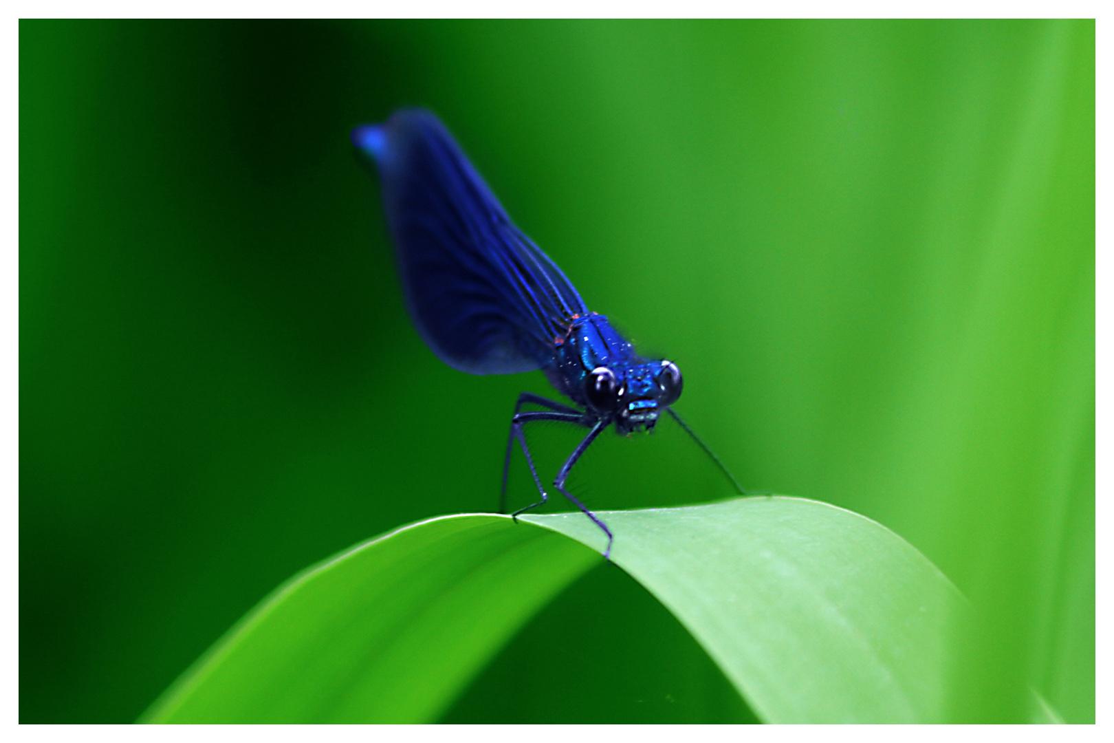 Grimmige Libelle
