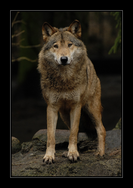 Grinning Wolf