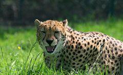 Grinse-Gepard