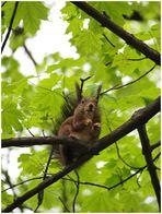 Grinsehörnchen