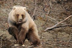Grizzly, Alaska