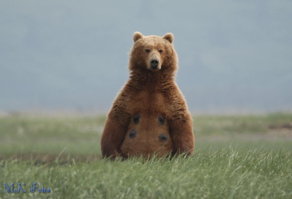 Grizzly Bär 2