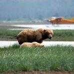 Grizzly-Bär